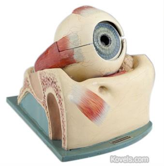 Optometrist's eye model