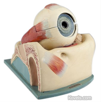 Optometrist's eye model